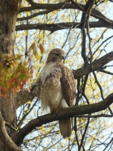 Red-tailed hawk at Blacklick Woods