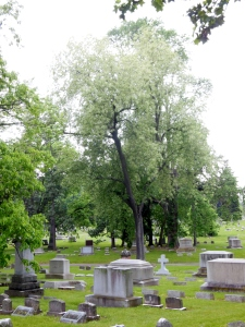 The tree that was a magnet for Cedar Waxwings and a Scarlet Tanager, Green Lawn Cemetery