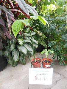 Titan arum seedlings