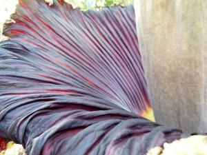 Titan arum's velvety, frilly purple spathe