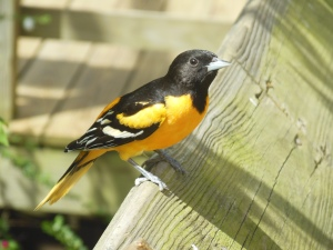 Baltimore Oriole at the Ohio Bird Sanctuary