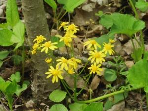 Golden Ragwort, Sharon Woods