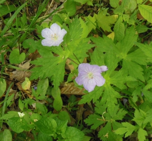 Wild Geranium, Sharon Woods