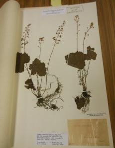 Specimen of Tiarella cordifolia, collected by William Starling Sullivant, 1840, Ohio State University Herbarium