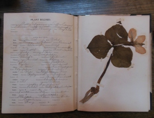 Specimen of Nodding Trillium collected by John Kenney, MSS 1274, Box 4, Ohio Historical Society Archives/Library