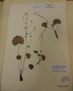 Specimen of Sullivantia sullivantii collected by William Starling Sullivant in 1840, The Ohio State University Herbarium