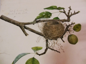Illustration of a Chipping Sparrow's nest, with cropping instructions, for Illustrations of the Nests and Eggs of Birds of Ohio, H 87638, Ohio Historical Society