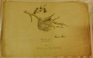 Warbling Vireo print for the Illustrations of the Nests and Eggs of Birds of Ohio, H 87633, Ohio Historical Society