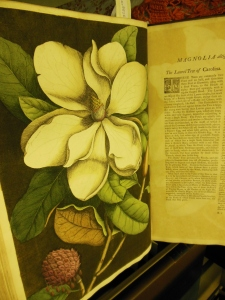 Magnolia, from The Natural History of Carolina, Florida, and the Bahama Islands, Lloyd Library