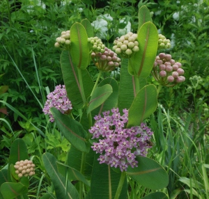 Sullivant's Milkweed in bloom at the Ohio Governor's Residence and Heritage Garden