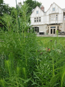 Compass plant in the Prairie Garden at the Ohio Governor's Residence and Heritage Garden