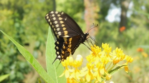 Eastern Black Swallowtail, Butterfly House, Cox Arboretum MetroPark