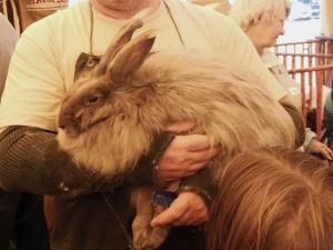 Angora rabbit, A Wool Gathering