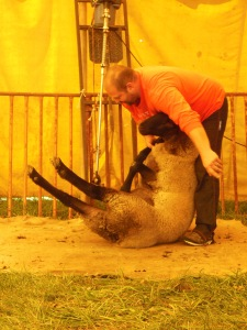 Shearing a sheep, A Wool Gathering