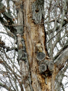 Can you spot this well-camouflaged Red-tailed Hawk?
