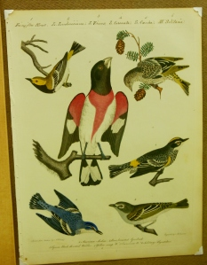 Plate from American Ornithology, from the collection of Tom Blanton