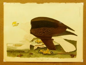 White-headed Eagle plate in American Ornithology, from the collection of Tom Blanton
