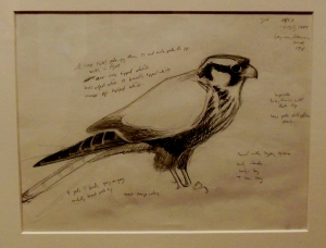 David Allen Sibley's sketch of an Aplomado falcon, In Fine Feather, Toledo Museum of Art