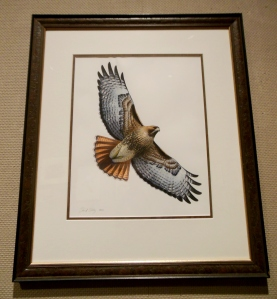 David Allen Sibley's Red-tailed Hawk, In Fine Feather, Toledo Museum of Art