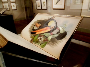 Toco Toucan, from Henry Richter and John Gould's Family of Toucans, In Fine Feather, Toledo Museum of Art