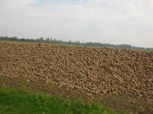 Harvested potatoes near Wittenberg, Germany