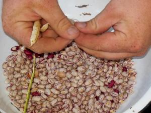 Horticulture beans, Gallant Farm Preserve